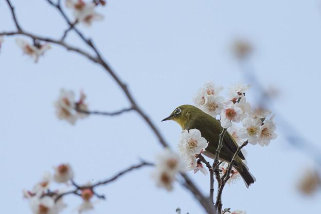 【梅にメジロ】1