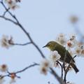 Photos: 【梅にメジロ】1
