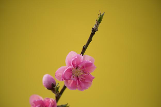 【保木のハナモモ】10