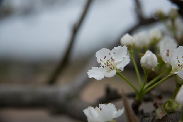 【花菜ガーデン(ナシ:長十郎)】