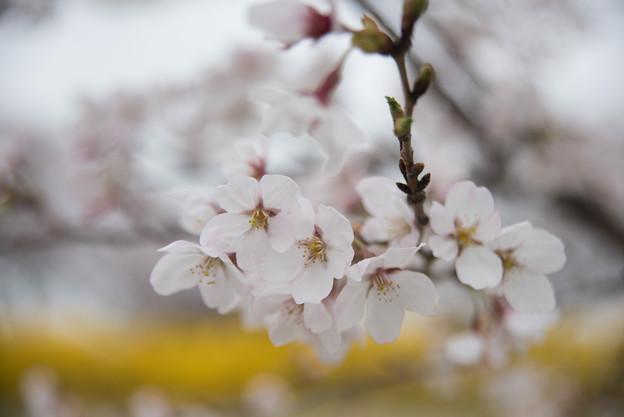 【花菜ガーデン(ソメイヨシノ)】2