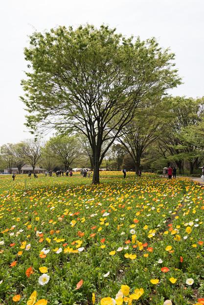 【昭和記念公園(ポピー)】2