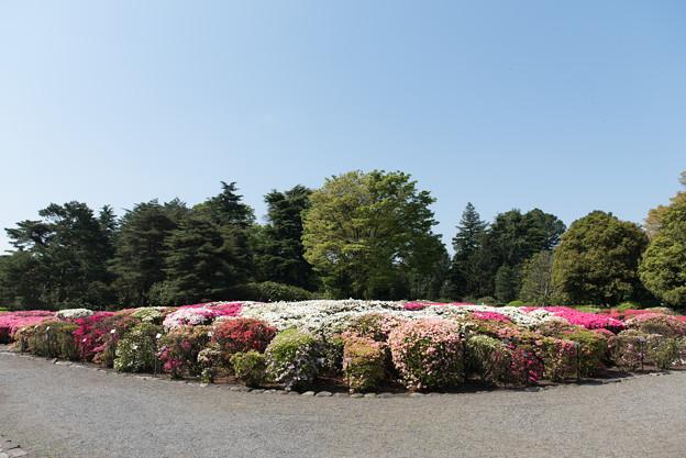 【神代植物公園(ツツジ)】2
