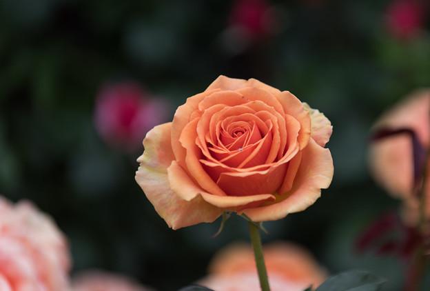 【花菜ガーデン(アシュラム)】3