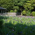 Photos: 【生田緑地の菖蒲園】2