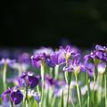 【生田緑地の花菖蒲(紫)】1