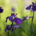 【生田緑地の花菖蒲(紫)】4