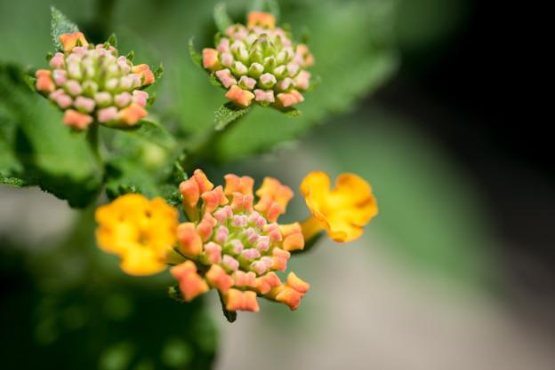 【庭に咲く花(ランタナ)】(3)