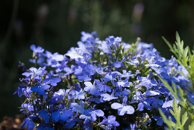 【庭に咲く花(ロベリア)】