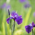 Photos: 【正覚寺の花菖蒲(紫)】3