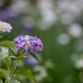 【正覚寺の紫陽花(紫)】2