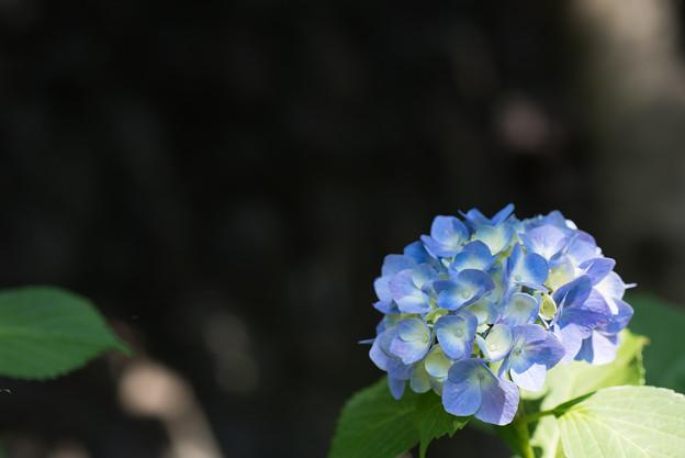 【正覚寺の紫陽花(青)】
