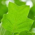 写真: ゆりの木