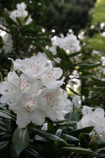 IMG_5456當麻寺・西南院・西南院庭園・石楠花