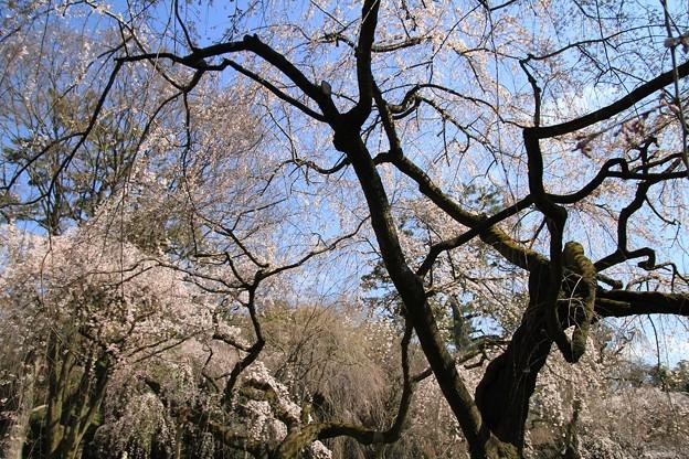 Photos: IMG_8175京都御苑・近衞邸跡の糸桜