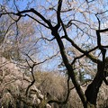 写真: IMG_8175京都御苑・近衞邸跡の糸桜