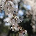 Photos: IMG_8231京都御苑・糸桜