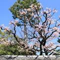 Photos: IMG_8256隨心院門跡・梅と馬酔木