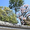 写真: IMG_8257隨心院門跡・馬酔木と梅