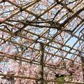 写真: IMG_8534清水寺・紅枝垂桜