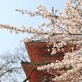 写真: IMG_8547清水寺・染井吉野と三重塔(重要文化財)