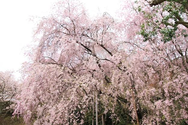 IMG_9057龍安寺・紅枝垂桜