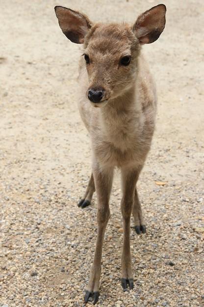 IMG_0050春日大社・日本鹿(天然記念物)