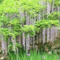 Photos: IMG_0103春日大社神苑萬葉植物園・藤と杜若