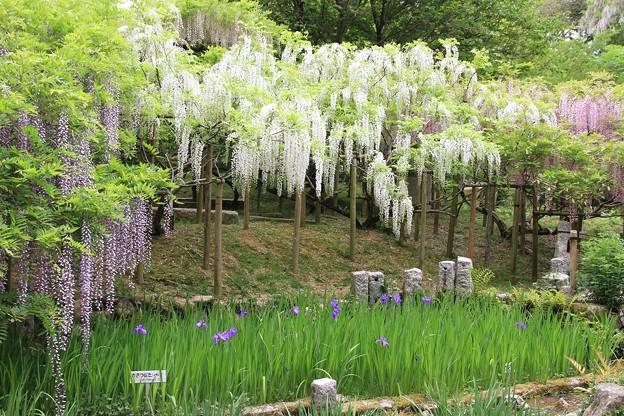 Photos: IMG_0105春日大社神苑萬葉植物園・藤と杜若