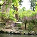 Photos: IMG_0123春日大社神苑萬葉植物園・藤