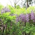 Photos: IMG_0203春日大社神苑萬葉植物園・八重黒龍