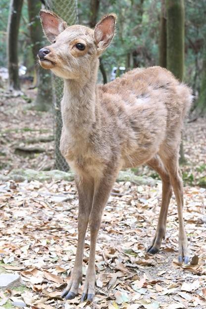 IMG_0216春日大社・日本鹿(天然記念物)