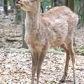Photos: IMG_0216春日大社・日本鹿(天然記念物)