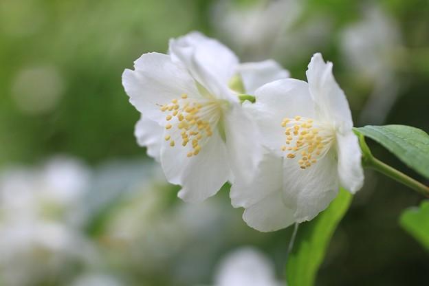 IMG_0289卯の花