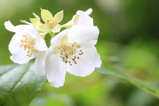 IMG_0296卯の花