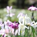 Photos: IMG_0655神苑・西神苑・花菖蒲