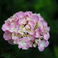 Photos: 庭の紫陽花(1)