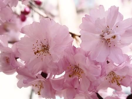 桜2015年03月31日_P3310051