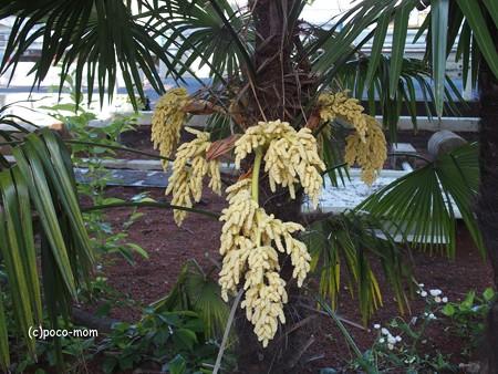 シュロの花P5020246