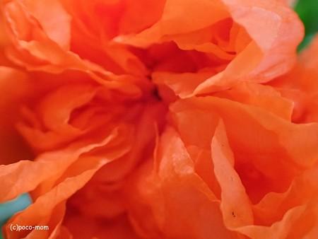 オリンパス GT-4 でザクロの花を撮る P60502671