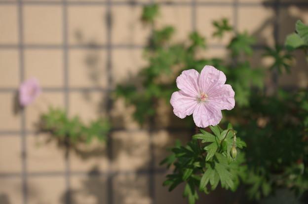 ゲラニウム Geranium sanguineum striatum