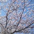 みたま園の桜2