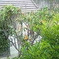 庭のビワの木