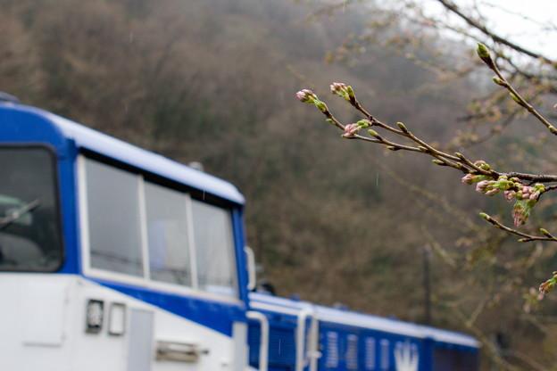 つぼみ桜とDE10おろち号