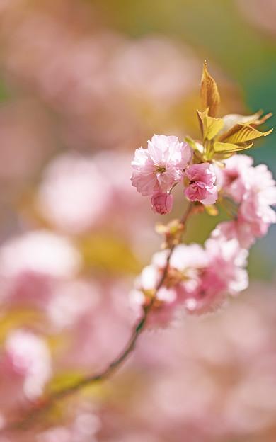 うっすら春色