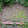 Photos: 6/3芽が出た畑に恵みの雨