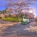 はままつフラワーパーク 桜 360度パノラマ写真(5) HDR