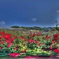 島田ばらの丘公園 360度パノラマ写真(1) HDR
