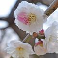 Photos: 大阪城公園の梅です