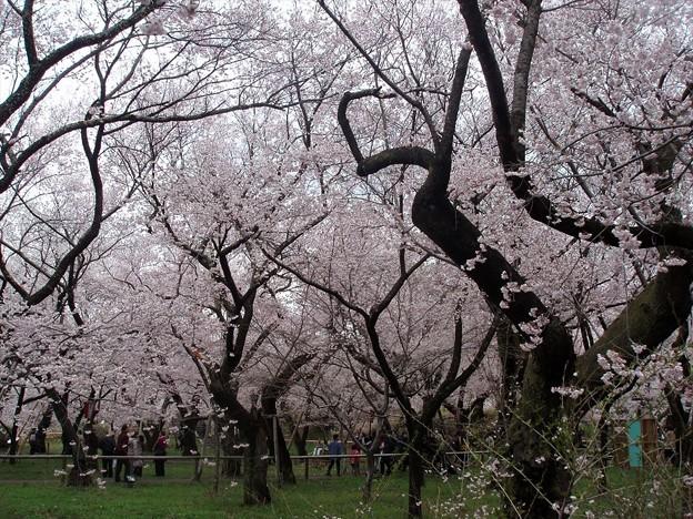 本丸跡に天皇家が植樹した桜
